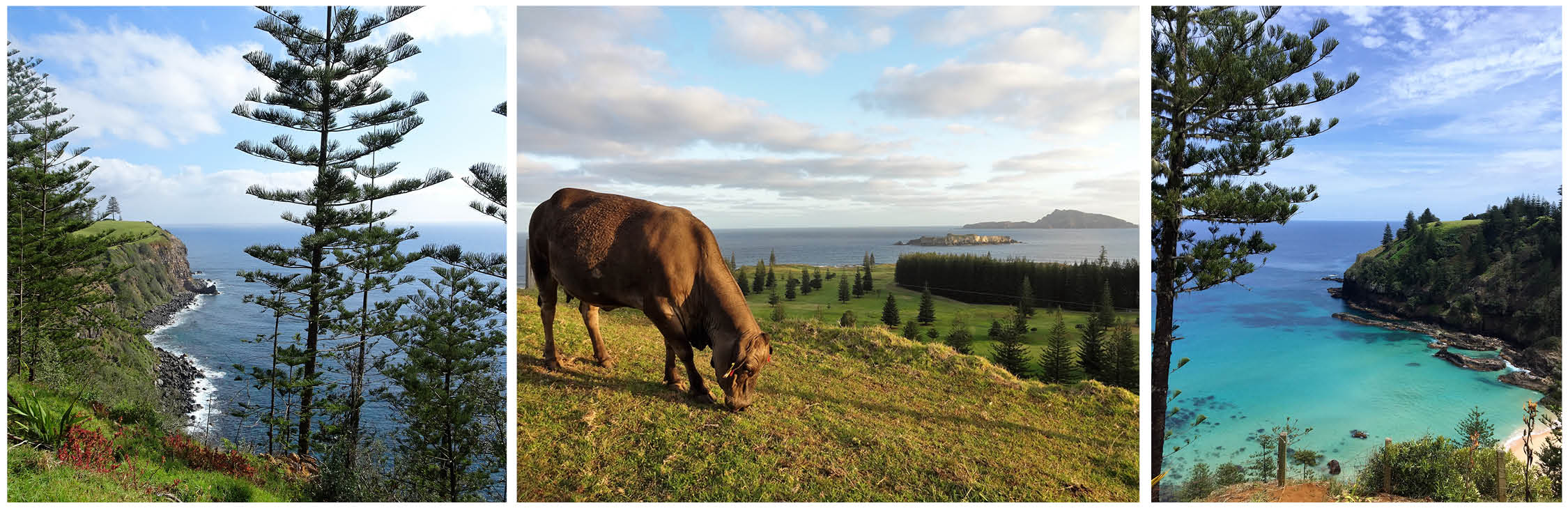 Cow at Norfolk Island